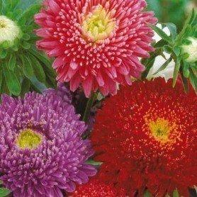 Reina margarita flor crisantemo