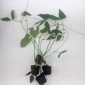 Plantero judia Kili