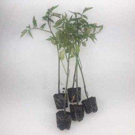 Plantero tomate hibrido Optima