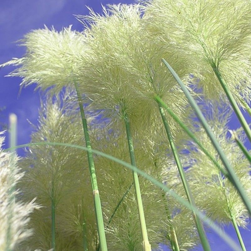 Semillas de Cortaderia selloana 0.10 gr