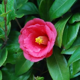 Semillas de Camellia Japonica