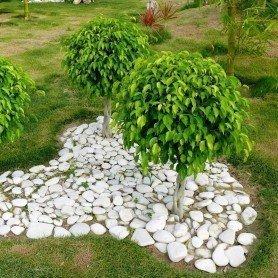 Semillas de Ficus Benjamina