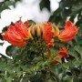 Semillas de Spathodea campanulata 0.5 gr
