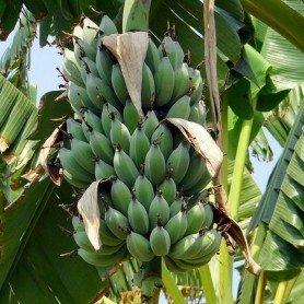 Semillas de Musa 0.5 gr