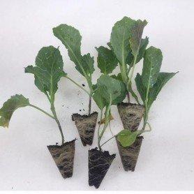 Plantero Col temprosal