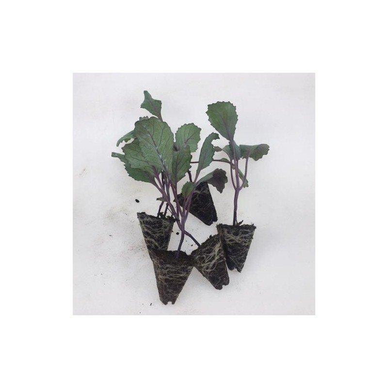Plantero col Lombarda
