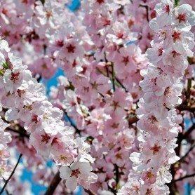 Prunus Serrulata Amanogawa C-3