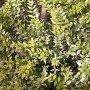 Semillas de Myrtus Communis
