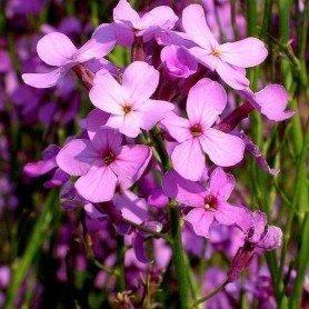 Violeta de los Jardines. Hesperis matronalis