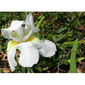 Iris Germánica blanco