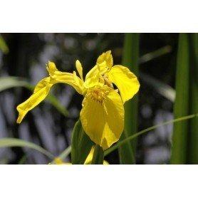 Iris Germánica amarillo