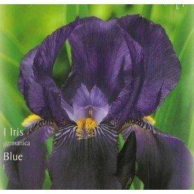 Iris Germánica azul