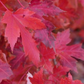 Acer Palmatum Songokaku