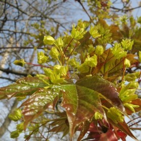 Acer platanoide Crimson King