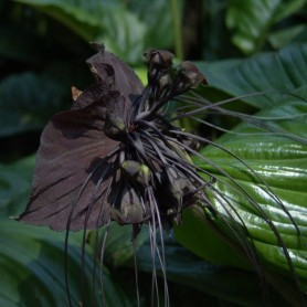 Tacca chantrieri black beauty