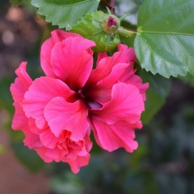 Hibiscus syriacus Freedom