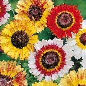 Crisantemo Tricolor Variado