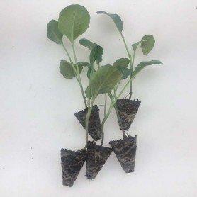 Plantero coliflor romanescu