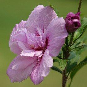 Hibiscus syriacus Lavender Chiffon (R)