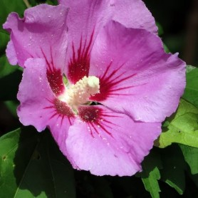 Hibiscus syriacus pink giant (R)