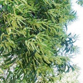Acacia Maidenii