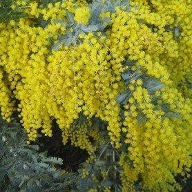 Semillas de Acacia dealbata 1 gr