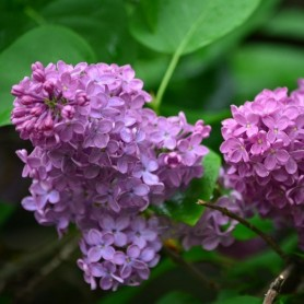 Buddleya Lilac Chip