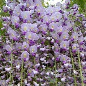 Wisteria Floribunda Naga Noda