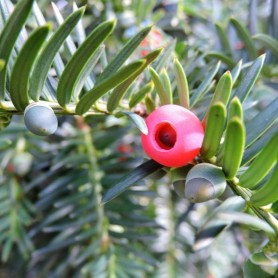 Taxus baccata C-5