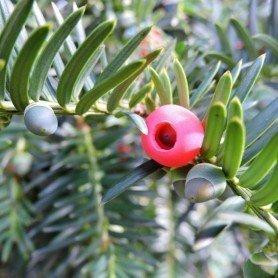 Taxus baccata C-5