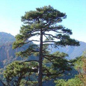 Semillas de Pinus nigra Hispanica 3 gr