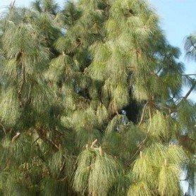 Semillas de Pinus canariensis 3 gr