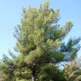 Semillas de pino halepensis 3 gramos