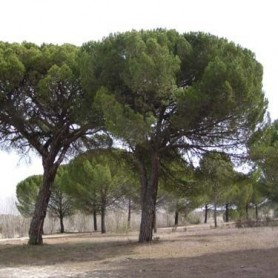 Semillas de Pinus Pinea 20 gr