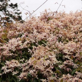 Clematis armandii apple blossom
