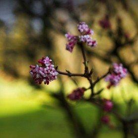 Viburnum bodnantese Dawn