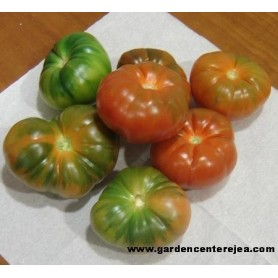 Tomate Mongo F1 tipo Raf prof