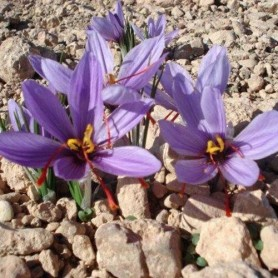 Azafran Crocus sativus 10 ud