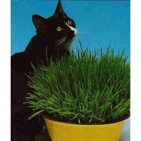 Semillas de Hierba para gatos