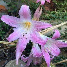 Amaryllis Belladonna 1 ud