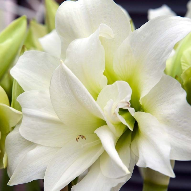 Amaryllis ice queen 1 ud
