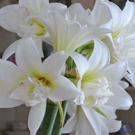 Amaryllis Jewel blanco