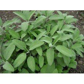 Salvia officinalis C-18