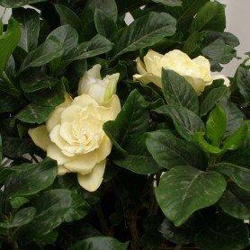 Jardín del cabo. Gardenia