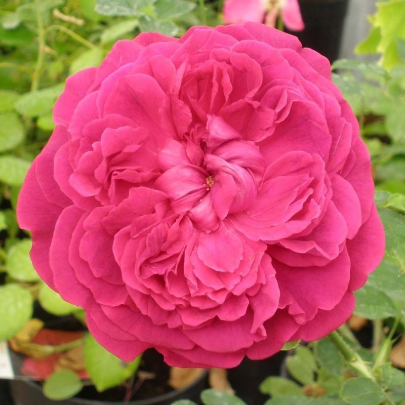Rosa William Shakespeare