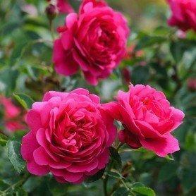 Rosal Sir John Betjeman