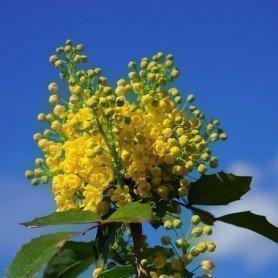 Mahonia aquifolium C-14
