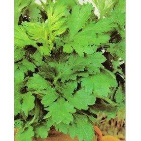 Semillas de Artemisa vulgaris