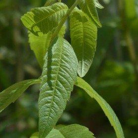 Aloysia Triphylla C-2.5 L