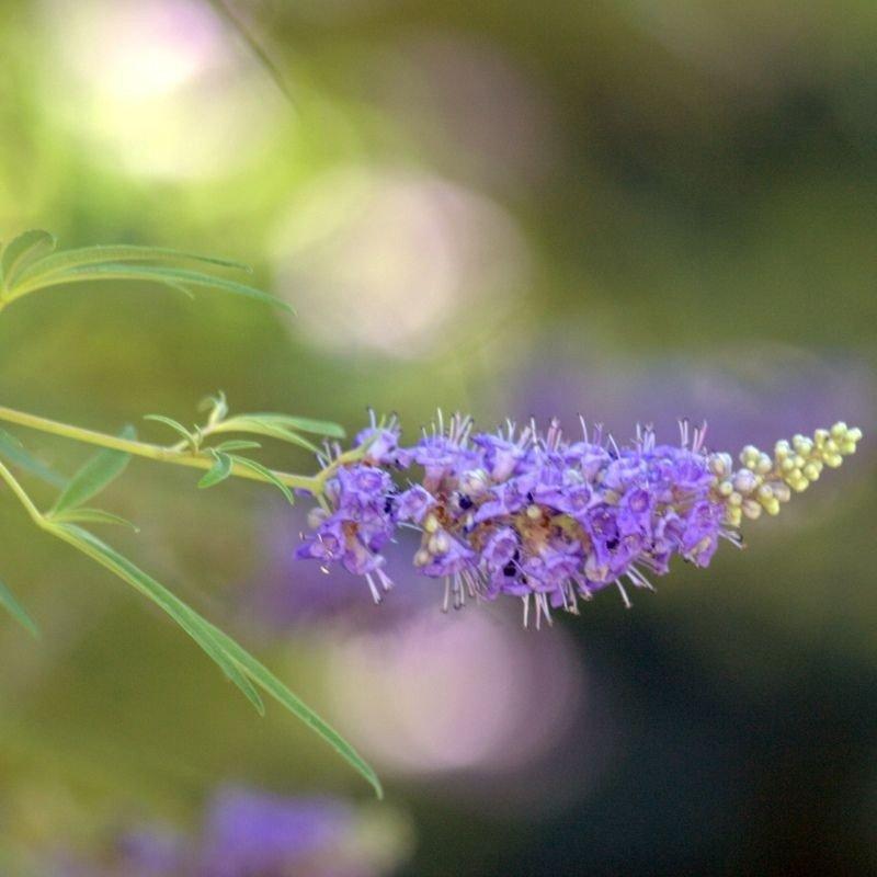 Vitex agnus castus latifolia C14